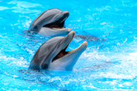 Two dolphins in water 11098039126| 写真素材・ストックフォト・画像・イラスト素材|アマナイメージズ