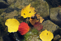 Frog swimming in water with fallen autumnal leaves 11098052016| 写真素材・ストックフォト・画像・イラスト素材|アマナイメージズ