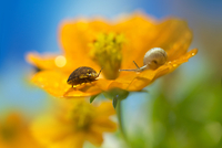 Insect and snail on orange color cosmos flower 11098055504| 写真素材・ストックフォト・画像・イラスト素材|アマナイメージズ