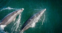 Dolphins jumping out of water 11098068131| 写真素材・ストックフォト・画像・イラスト素材|アマナイメージズ