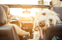 Woman and her labradoodle dog driving with the car 11098082366| 写真素材・ストックフォト・画像・イラスト素材|アマナイメージズ