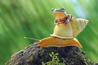 Flying Frog, frog, Forg on Snail, frogs taxi, snail, snail taxi, 11098083024| 写真素材・ストックフォト・画像・イラスト素材|アマナイメージズ