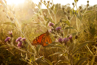 Monarch Butterfly with flowers at sunset 11100028088| 写真素材・ストックフォト・画像・イラスト素材|アマナイメージズ