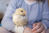 Midsection of girl with baby chicken 11100065920| 写真素材・ストックフォト・画像・イラスト素材|アマナイメージズ