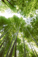 Low angle view of bamboo forest 11100067056| 写真素材・ストックフォト・画像・イラスト素材|アマナイメージズ