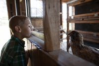 Side view of boy looking at chicken while standing in animal pen 11100067953| 写真素材・ストックフォト・画像・イラスト素材|アマナイメージズ