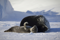 Weddell seal and pup lying on snow covered field 11100067993| 写真素材・ストックフォト・画像・イラスト素材|アマナイメージズ