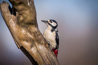 Close-up of Great Spotted Woodpecker (Dendrocopos major) perching on branch 11100068664| 写真素材・ストックフォト・画像・イラスト素材|アマナイメージズ