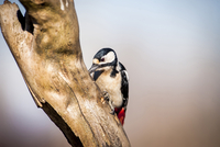 Close-up of Great Spotted Woodpecker (Dendrocopos major) pecking on branch 11100068665| 写真素材・ストックフォト・画像・イラスト素材|アマナイメージズ