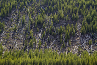 High angle view of trees in forest at Yellowstone National Park 11100068932| 写真素材・ストックフォト・画像・イラスト素材|アマナイメージズ