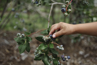 Cropped hand of girl picking blueberry from plant 11100068988| 写真素材・ストックフォト・画像・イラスト素材|アマナイメージズ